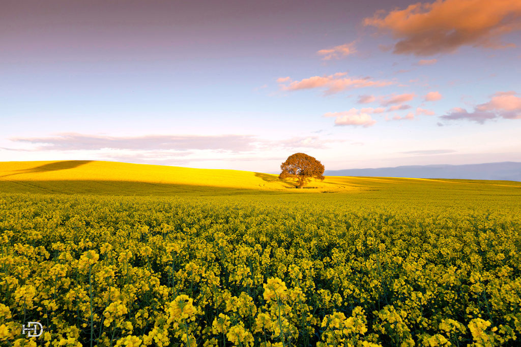 Rape seed feild wales world travel photos