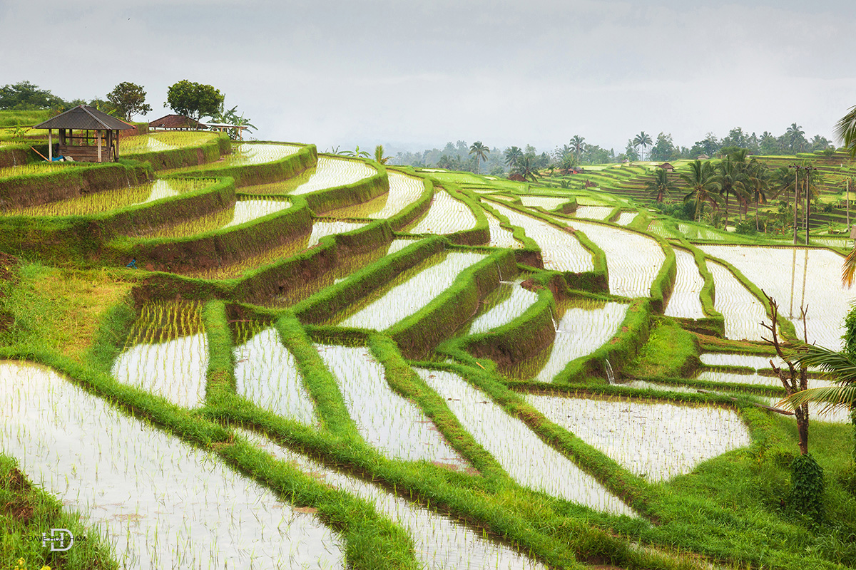 Amazing rice feilds of Bali